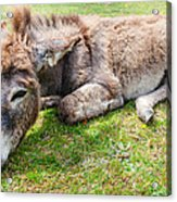 Donkey On Grass Acrylic Print