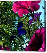 Donna's Blooming Petunias Acrylic Print