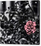 Donna's Rose Acrylic Print