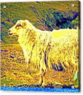 Dont Be Sheep, You Said, But I Just Can't Help It Acrylic Print