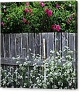 Don't Fence Me In - Wild Roses - Old Fence Acrylic Print