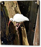 White Ibis Bird Acrylic Print