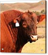Dont Mess With The Bull Acrylic Print