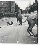 Don�t Move To New Address By Camels! Acrylic Print