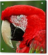 Dont You Dare To Stare Macaw Acrylic Print