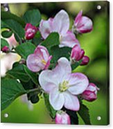 Door County Apple Blossoms Acrylic Print