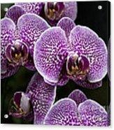 Doritaenopsis Leopard Prince 2651 Acrylic Print