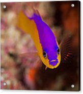 Dottybacks Reef Fish Acrylic Print