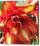 Double Asiatic Lily Named Cocktail Twins Acrylic Print