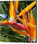 Double Bird Of Paradise - 1 Acrylic Print