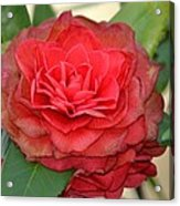 Double Blossom Camelias Acrylic Print