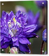 Double Blue Columbine Flower Acrylic Print