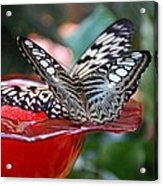 Double Butterfly Acrylic Print