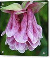 Double Columbine Named Pink Tower Acrylic Print