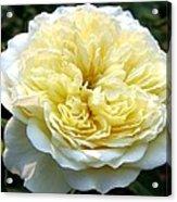 Double Cream Rose Acrylic Print