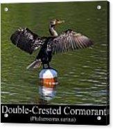 Double Crested Cormorant Acrylic Print