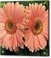 Double Delight - Coral Gerbera Daisies Acrylic Print