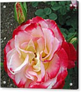 Double Delight Hybrid Tea Rose Acrylic Print