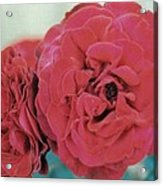 Double Desert  Red Roses Acrylic Print