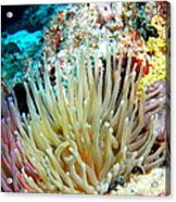 Double Giant Anemone And Arrow Crab Acrylic Print