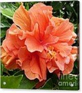 Double Peach Hibiscus Acrylic Print