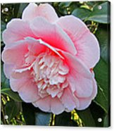 Double Pink Camilla Flower Acrylic Print