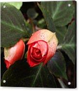 Double Rose Impatiens Acrylic Print