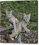 Double Trouble Acrylic Print by Sandra Bronstein