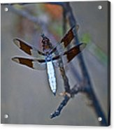 Double Wings Ins 80 Acrylic Print
