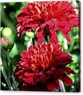 Doubled Red Mums Acrylic Print