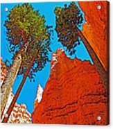 Douglas Firs On Wall Street On Navajo Trail In Bryce Canyon National Park-utah Acrylic Print