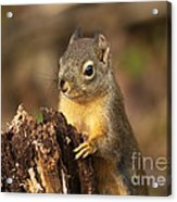 Douglas Squirrel On Stump Acrylic Print