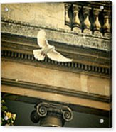 Dove In Flight Acrylic Print
