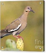 Dove On A Cactus Bud Acrylic Print