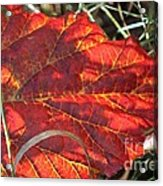 Down But Not Out Acrylic Print