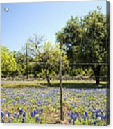 Down Country Bluebonnets Acrylic Print