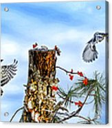 Downy And Titmouse Playing On Lichen Stump Acrylic Print