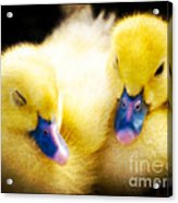 Downy Ducklings Acrylic Print