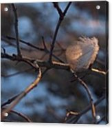 Downy Feather Backlit On Wintry Branch At Twilight Acrylic Print by Anna Lisa Yoder