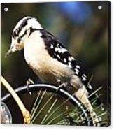 Downy Woodpecker 2 Acrylic Print