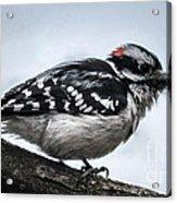 Downy Woodpecker 3 Acrylic Print