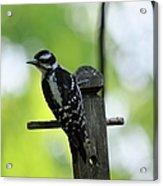Downy Woodpecker 7448 Acrylic Print