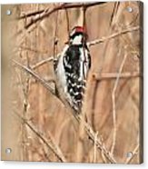 Downy Woodpecker In Brush Acrylic Print