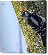 Downy Woodpecker - Male Acrylic Print