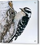 Downy Woodpecker Pictures 27 Acrylic Print