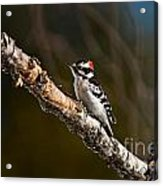 Downy Woodpecker Pictures 36 Acrylic Print