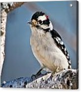 Downy Woodpecker Pictures 39 Acrylic Print