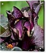 Dracula's Flower Acrylic Print