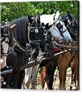 Draft Horses All In A Row Acrylic Print