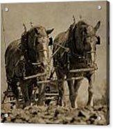Draft Horses Acrylic Print